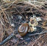 Millipede on ground. Millipede animal antenna arthropod athropoda athropodology in wild Royalty Free Stock Image