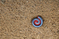Millipede on the ground. Millipede on the ground in the garden Royalty Free Stock Images