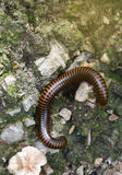 Millipede on ground. Millipede lying Walking on ground Stock Photography