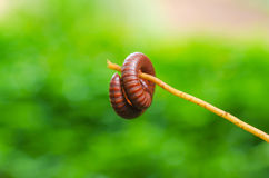 Millipede is insects that have several Legs Royalty Free Stock Photography