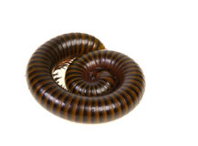 Millipede. In isolated on white background stock photography
