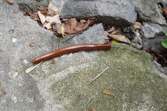 Millipede, long,  brown reddish colour. Scary looking Millipede, but harmless millipede feeding in the undergrowth. Found in Thailand Stock Photos