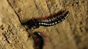Millipede Mating 3 stock video