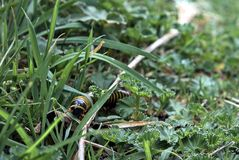 Millipede in the middle of the grass royalty free stock photos