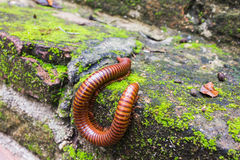 Millipede or millepede eating mosses with copy space Stock Images
