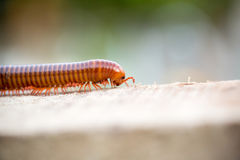 Millipede,is,moving,on,wood. Stock Photography