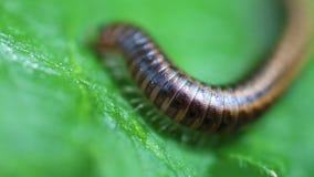 Millipede - Myriapoda απόθεμα βίντεο