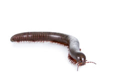 Millipede, Myriapoda on white royalty free stock images