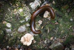 Millipede on nature. Millipede lying Walking on ground nature Stock Photo