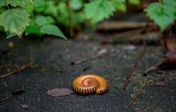 Millipede Roll. In my house Stock Photo