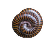 The millipede rolled into a circle isolated on white background . The millipede rolled into a circle isolated on white background royalty free stock images