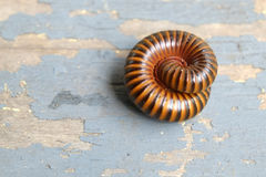 The millipede rolled Royalty Free Stock Photography