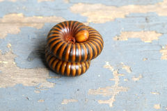 The millipede rolled Stock Photo