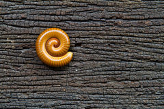Millipede rolls on rotting wood. Stock Images