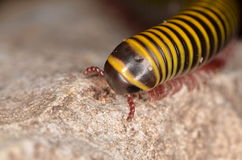 Millipede. The small insect - millipede in breeding Royalty Free Stock Image