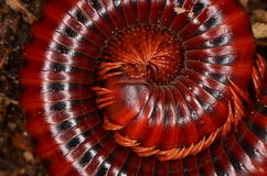 Millipede. The small insect - millipede in breeding Royalty Free Stock Images