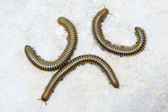 Millipede Stock Images