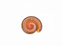 Millipede tropical in isolated on white background Royalty Free Stock Image