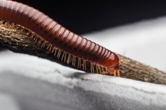 The millipede walking. Close up of the millipede walking Stock Images