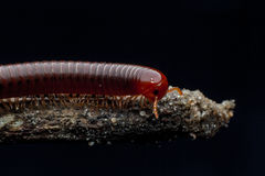 The millipede walking. Close up of the millipede walking Royalty Free Stock Photography