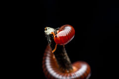 The millipede walking Stock Photo