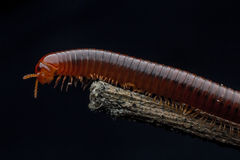 The millipede walking Royalty Free Stock Image