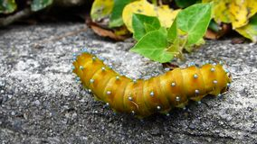 Millipede walking on the wall stock video footage