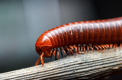 The millipede walking. On the wood Stock Photos