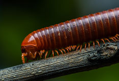 The millipede walking. On wood background Royalty Free Stock Photo