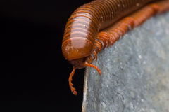 The millipede walkking Stock Images