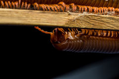The millipede walkking Royalty Free Stock Photos