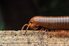 The millipede walkking Royalty Free Stock Image