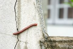 Millipede on the wall of the house in the rain. Watch out for millipedes in the rainy season. Millipede on the wall of the house in the rain royalty free stock photography