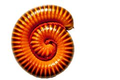 Millipede on white Royalty Free Stock Photo