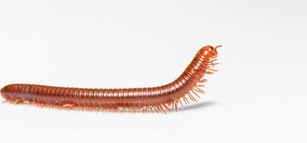 Millipede on white background Stock Photography