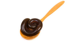 Millipede. On wood spoon in isolated on white background stock photos