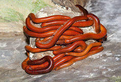 Millipede worm Royalty Free Stock Image