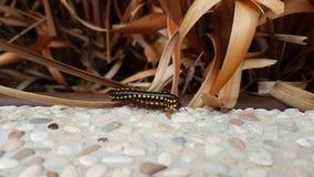 Millipedes ζευγάρωμα Στοκ εικόνες με δικαίωμα ελεύθερης χρήσης