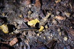 Millipedes που ανακαλύπτονται κάτω από το Stone 170601 0001 στοκ φωτογραφία με δικαίωμα ελεύθερης χρήσης