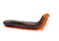 Millipedes Stock Photography