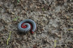 Millipedes Stock Photos