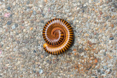 Millipedes roll Stock Photos