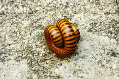 Millipedes Royalty Free Stock Photography