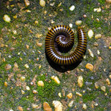 Millipedes Stock Images