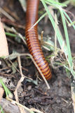 Millipedes are walking. Stock Images