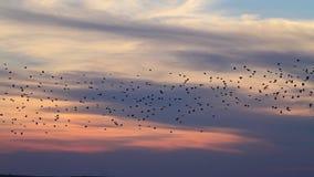 Millonésima multitud de los estorninos que vuelan en la puesta del sol