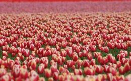 Millones de tulipanes Foto de archivo libre de regalías