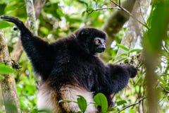 Milne-Edwards Sifaka dans la forêt du Madagascar Image stock