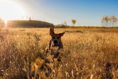 Milo en la salida del sol Foto de archivo