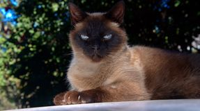 Milo. Is our 8 year old Chocolate Siamese cat, he was lying sunning himself on our vehicle roof  and he had a far away look in his eyes as if in a trance, so I Stock Photography